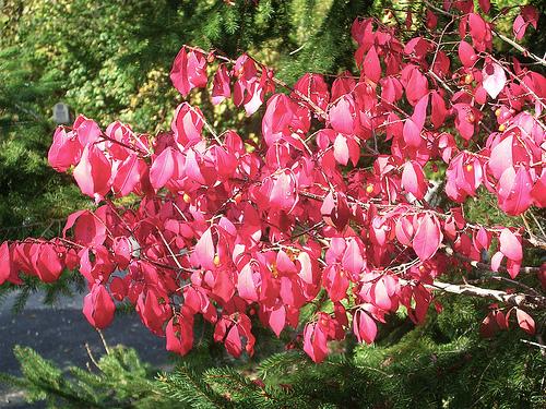 Pink_leaves